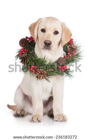 labrador retriever puppy with a christmas wrath around his neck - stock photo