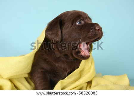 Labrador retriever puppy with it's mouth open. - stock photo