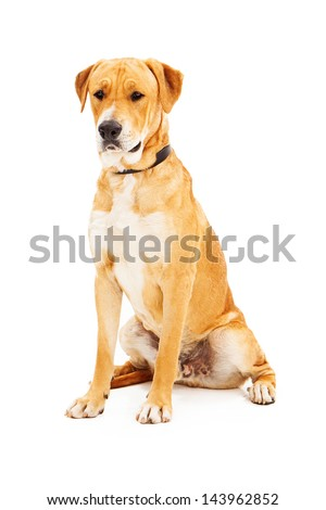 Labrador Retriever sitting dog against a white backdrop