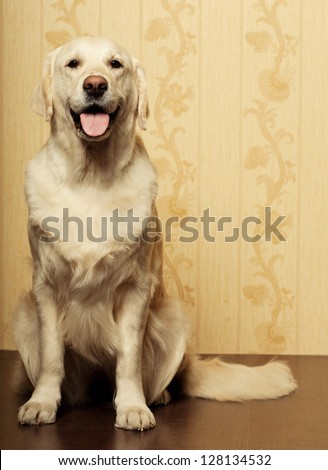 Labrador retriever sitting in front in studio - stock photo