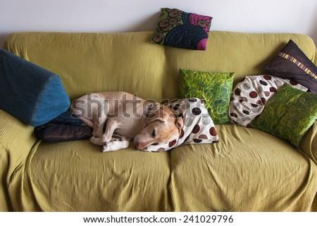 Labrador Retriever sleeping at the sofa - stock photo