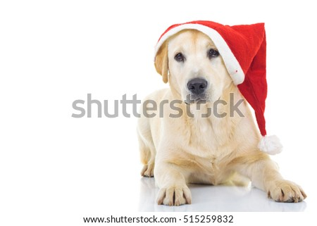 labrador retriever wearing santa claus hat for christmas, sitting on white background