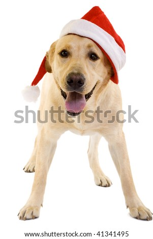 labrador retriever with red Santa Claus hat on white background.