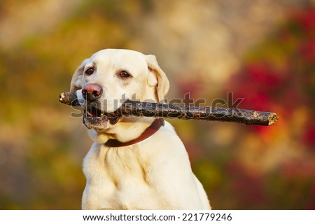 Labrador retriever with wooden stick in autumn nature - stock photo