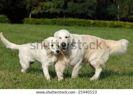Labrador retriver. best of breed - stock photo