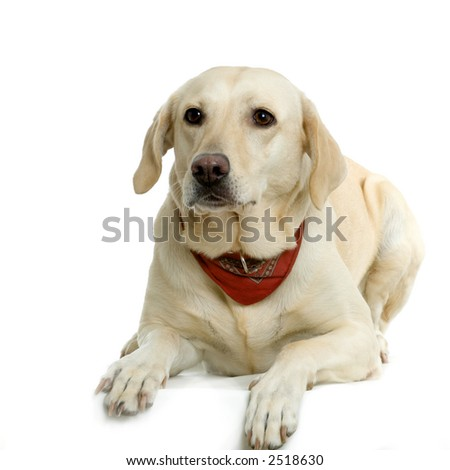 Labrador retriver cream wearing a red scarf in front of white background and facing the camera