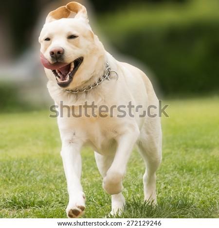 Labrador running - stock photo
