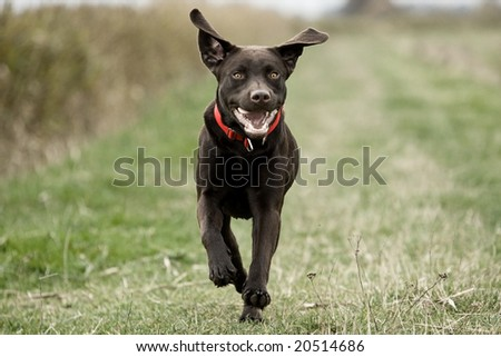 Labrador Running in the Countryside