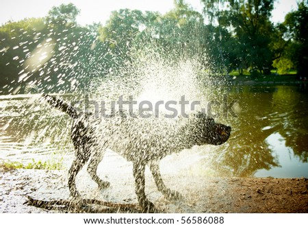 "Labrador Shaking Water off its Body, ""high-key"" lighting. - stock photo"