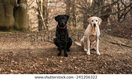 Labrador sisters - stock photo