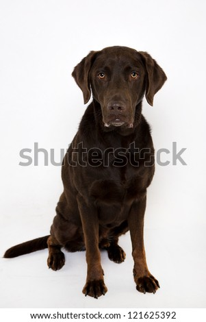 Labrador sitting Isolated on white - stock photo
