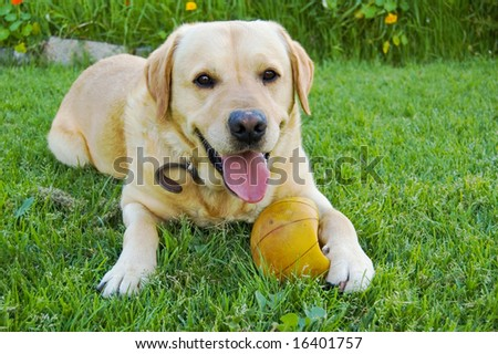 Labrador sitting on grass with ball under paw and happy look on face