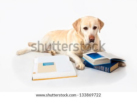 Labrador with books on a white background