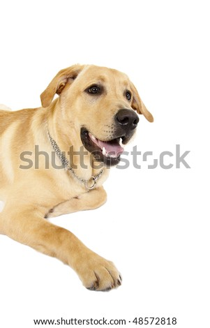 Labrador (1 year) in front of a white background