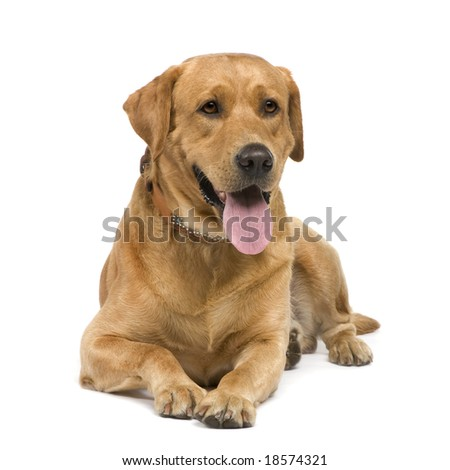 Labrador (3 years) in front of a white background