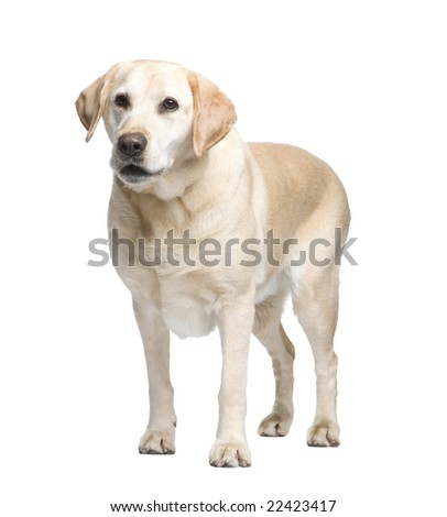 Labrador (9 years) in front of a white background