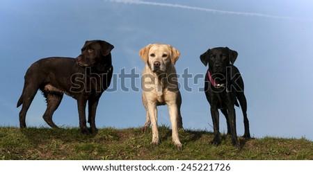 labradors - stock photo