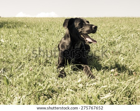 labradow mixed breed  in the meadow - stock photo