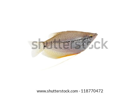 Lace gourami (Trichopodus leerii) isolated on white background. Pearl gourami. - stock photo