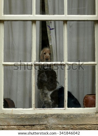 LACOCK, SOMERSET, UK. APRIL 09, 2012. Two pet inquistive dogs looking out through a window.