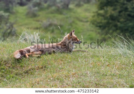 Lacy red fox
