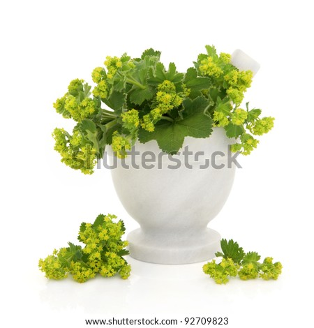 Ladies mantle herb flower sprigs in a marble mortar with pestle with scattered flowers isolated over white background. Alchemilla. - stock photo