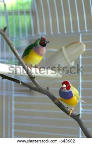 Lady Gouldian Finches - stock photo