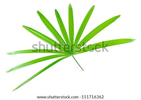 lady palm, Bamboo palm, Plam leaves isolated on the white background. - stock photo