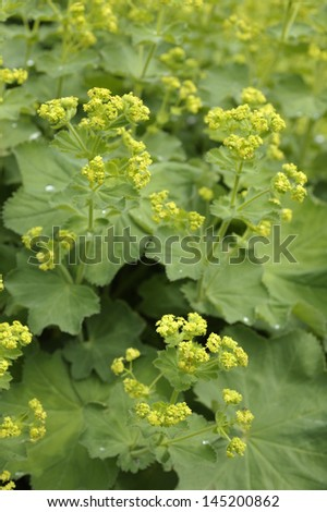 Lady's Mantle - Alchemilla mollis - stock photo