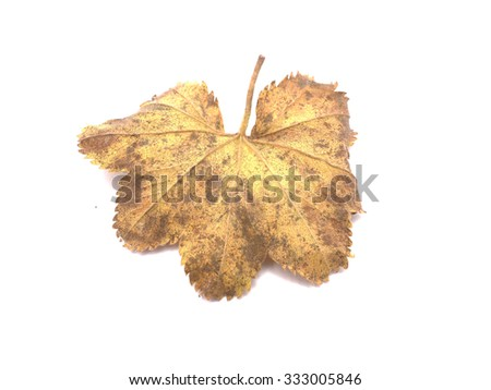 Lady's Mantle leaves isolated on white - stock photo