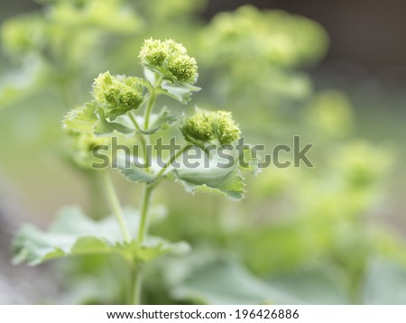 Lady's Mantle or Alchemilla with clusters of small yellow-green flowers growing outdoors in a garden is used as a medicinal herb due to its strong astringent properties - stock photo