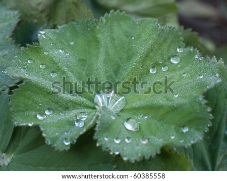 Lady's Mantle with water on leaves - stock photo
