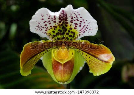 Lady Slipper Orchid Paphiopedilum  - stock photo