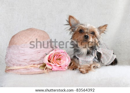Lady Yorkshire terrier - stock photo