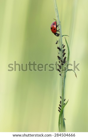 Ladybird attacking Aphids, also known as plant lice or greenflies, blackflies, or whiteflies - stock photo