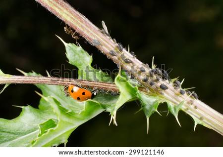 ladybird: biological pest control - stock photo