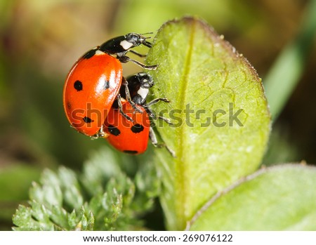ladybird insects pair mating (Coccinellidae septempunctata) - stock photo
