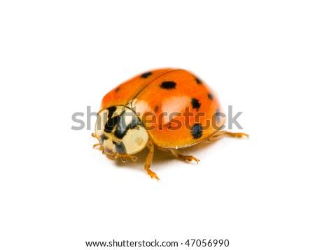 ladybird isolated on the white background - stock photo