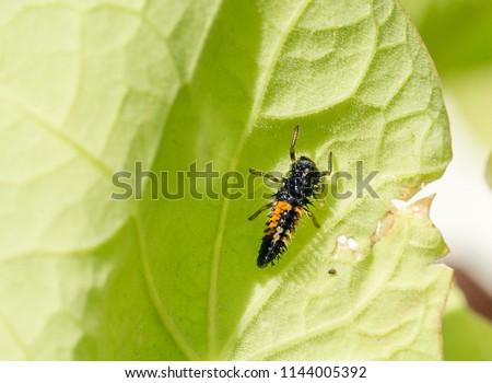 Ladybird - Ladybug larvae on a vibrant green geranium leaf.