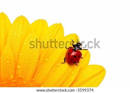 ladybird (ladybug)  on a yellow flower - stock photo