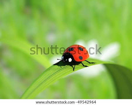 Ladybird on a blade of grass.