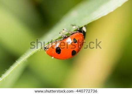 ladybird on green grass. macro - stock photo