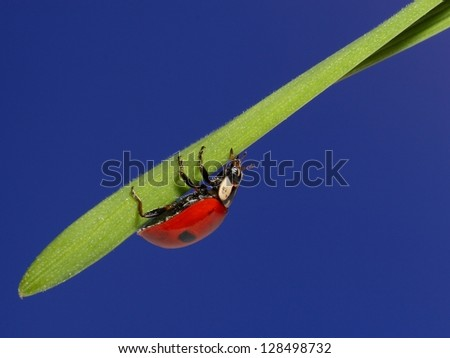 Ladybird on green grass over blue sky. macro