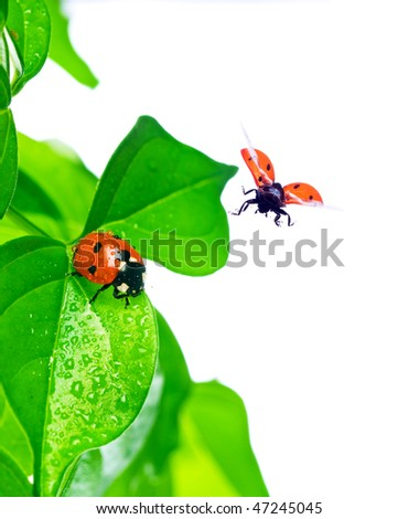 ladybird on green leaf and drop - stock photo