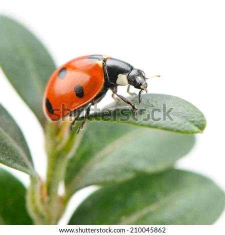 ladybird on green leaf isolated on a white background - stock photo