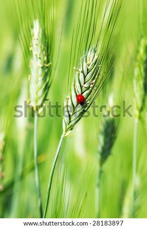 Ladybird on the green spike of wheat. - stock photo