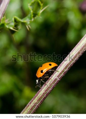 ladybird on thistle stem - stock photo