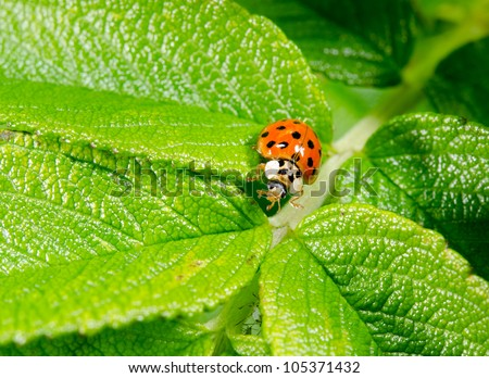 ladybird searching for aphids hidden under leaf - stock photo