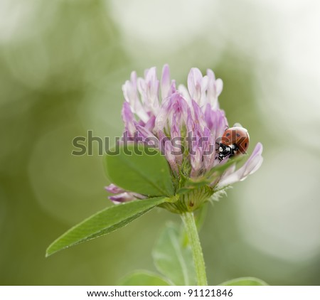 Ladybird sitting on White clover (Trifolium repens)