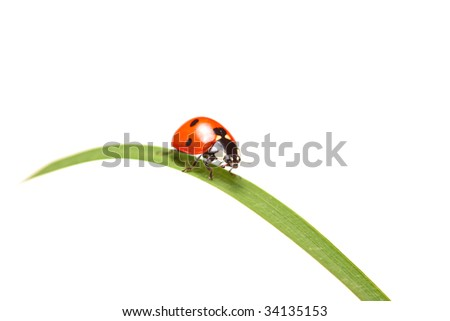 Ladybird walking on a leaf isolated on white background - stock photo